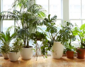 Most Common House Plants on small house plants, names of house plants, popular houseplants plants, poisonous house plants, types of house plants, common tropical plants, tall house plants, typical house plants, tropical house plants, identifying house plants, rare house plants, dumb cane house plants, great house plants, best house plants, most popular house plants, blooming house plants, vine house plants, uncommon house plants, blue house plants, caring for house plants,